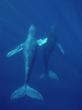 Humpback Whale (Megaptera Novaeangliae) Underwater, Hawaii Photographic Print by Flip Nicklin/Minden Pictures