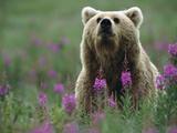 Brown or Grizzly Bear (UrsusArctos) and Fireweed (ChamerionAngustifolium), Katmai Nat'lPark, Alaska Photographic Print by Matthias Breiter/Minden Pictures
