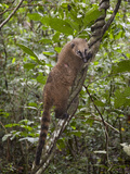 Ring-Tailed Coati or Coatimundi, Nasua Nasua, Climbing a Vine Photographic Print by Roy Toft