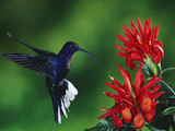 Violet Sabre-Wing Hummingbird (CampylopterusHemileucurus), Zebra Plant (AphelandraSp.), Costa Rica Fotografie-Druck von Michael and Patricia Fogden/Minden Pictures