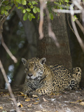 Portrait of an Endangered Jaguar, Panthera Onca, at Rest Photographic Print by Roy Toft