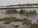 A Nomadic Komi Reindeer Herder Takes His Sled Through a Meltwater Bog Photographic Print by Gordon Wiltsie