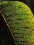 Poinsettia (Euphorbia Pulcherrima) Leaf Detail Showing Veins, Originating in Mexico Photographic Print by Albert Lleal/Minden Pictures