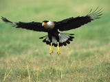 Crested Caracara (Polyborus Plancus) Landing, Rio Grande Valley, Texas Photographic Print by Tom Vezo/Minden Pictures