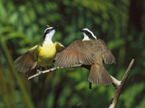 Great Kiskadee (Pitangus Sulphuratus) Male and Female in Courtship Display, Costa Rica Photographic Print by Tom Vezo/Minden Pictures
