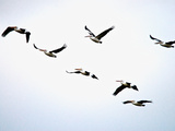 A Flock of Australian Pelicans Fly Against an Overcast Sky Photographic Print by Brooke Whatnall