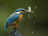 An Adult Male Common Kingfisher, Alcedo Atthis, Shaking a Live Fish Papier Photo par Joe Petersburger