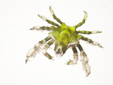 A Halimeda Crab Collected from a Sample of Coral Reef Photographic Print by David Liittschwager