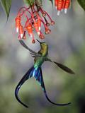 Violet-Tailed Sylph (Aglaiocercus Coelestis) Hummingbird, Heath (Ericaceae), Andes, Ecuador Fotografie-Druck von Michael and Patricia Fogden/Minden Pictures