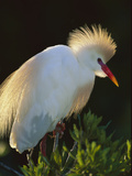 Cattle Egret (Bubulcus Ibis) in Breeding Plumage, Florida Photographic Print by Theo Allofs/Minden Pictures