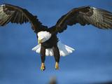Bald Eagle (Haliaeetus Leucocephalus) in Flight, Kenai Peninsula, Alaska Photographic Print by Tom Vezo/Minden Pictures