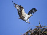 Osprey (Pandion Haliaetus) Landing on Nest, Florida Fotografie-Druck von Tom Vezo/Minden Pictures