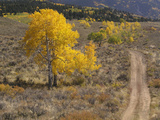 Dirt Road and Aspen Trees Photographic Print by  Greg