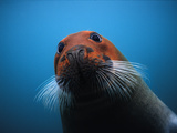 Bearded Seal (Erignathus Barbatus) with Head Stained Red, Svalbard, Norway Photographic Print by Flip Nicklin/Minden Pictures