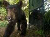 A Remote Camera Captures a Black Bear Photographic Print by Michael Nichols