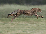 Cheetah (Acinonyx Jubatus) Running, Cheetah Conservation Fund, Otijwarongo, Namibia, Photographic Print by Suzi Eszterhas/Minden Pictures