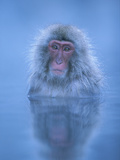 Japanese Macaque (Macaca Fuscata) Bathing in Hot Springs, Joshinetsu Plateau Nat'l Park, Japan Photographic Print by Ingo Arndt/Minden Pictures