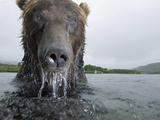 Brown Bear (Ursus Arctos) in River, Kamchatka, Russia Photographic Print by Sergey Gorshkov/Minden Pictures