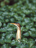 Least Bittern (Ixobrychus Exilis) Among Wetland Plants, Anahuac Nat'l Wildlife Refuge, Texas Photographic Print by Tom Vezo/Minden Pictures