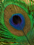 Close Up of a Peacock Tail Feather Photographic Print by Beverly Joubert