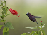Snowcap (Microchera Albocoronata) Hummingbird Male Foraging, Costa Rica Photographic Print by Tim Fitzharris/Minden Pictures