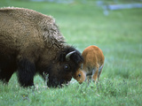 American Bison (Bison Bison) Female Playing with Calf, Yellowstone Nat'l Park, Montana Photographic Print by Suzi Eszterhas/Minden Pictures