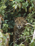 Jaguar (Panthera Onca) in Dense Forest, Pantanal, Brazil Photographic Print by Theo Allofs/Minden Pictures