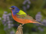Painted Bunting (Passerina Ciris) Male, Rio Grande Valley, Texas Photographic Print by Tom Vezo/Minden Pictures