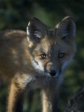 Red Fox Pup Photographic Print by Michael S. Quinton