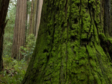 Old Growth Trees in Jedediah Smith Redwoods State Park Photographic Print by National Geographic Photographer