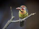 A Red and Yellow Barbet, Trachyphonus Erythrocephalus Photographic Print by Joel Sartore