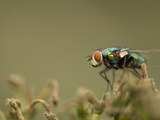 Bluebottle Fly Perched on a Plant in a Suburban Garden Photographic Print by Paul Sutherland