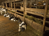 Calves Being Raised for Veal are Protected from the Cold in a Barn Photographic Print by Gordon Wiltsie