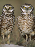 Burrowing Owl (Athene Cunicularia) Pair on Sand Mound Near Burrow Entrance, Florida Photographic Print by Theo Allofs/Minden Pictures