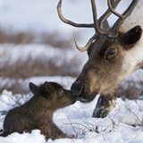 Caribou (Rangifer Tarandus) Mother and Calf Nuzzling, Kamchatka, Russia Photographic Print by Sergey Gorshkov/Minden Pictures