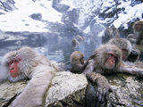 Japanese Macaque (Macaca Fuscata) Group Soaking in Hot Springs, Japan Photographie par Ingo Arndt/Minden Pictures