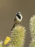 Black-Throated Sparrow (Amphispiza Bilineata) on Cactus, Santa Rita Mountains, Arizona Fotografie-Druck von Tom Vezo/Minden Pictures