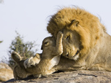 African Lion (Panthera Leo) Cubs Playing with Adult Male, Masai Mara Nat'l Reserve, Kenya Fotografisk tryk af Suzi Eszterhas/Minden Pictures