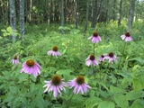 Cone Flowers Grow in the Forest Photographic Print by  Greg