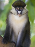 Red-Tail Monkey (Cercopithecus Ascanius) Kichwa Tembo Forest, Masai Mara, Kenya Photographic Print by Suzi Eszterhas/Minden Pictures
