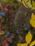Northern Red Backed Vole (Clethrionomys Rutilus) Feeding on Blueberries, Alaska Photographic Print by Michael S. Quinton