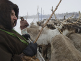 A 72-Year Old Komi Nomadic Reindeer Herder, Holds Up a Temporary Pen Photographic Print by Gordon Wiltsie