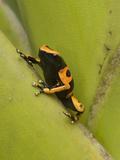 Yellow-Banded Poison Dart Frog (Dendrobates Leucomelas), Las Claritas, Venezuela Photographic Print by Ch'len Lee/Minden Pictures
