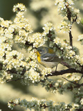 Northern Parula Warbler (Parula Americana) in Beach Plum (Prunus Maritima) Long Island, New York Photographic Print by Tom Vezo/Minden Pictures