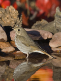 Hermit Thrush (Catharus Guttatus) Standing in Water, Santa Rita Mountains, Arizona Fotografie-Druck von Tom Vezo/Minden Pictures