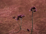 Verbena Bonariensis and Muhlenbergia Capillaris Seeds Photographic Print by Paul Daimien