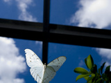 Captive White Morpho Butterfly, Morpho Polyphemus Photographic Print by Paul Sutherland