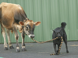 Family Farm Dog Does His Job Pulling Cow with Rope in Mouth Photographic Print by  Greg