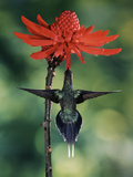 Green Hermit (Phaethornis Guy) and Coral Tree (Erythrina Sp.) Flowers, Costa Rica Photographic Print by Michael and Patricia Fogden/Minden Pictures