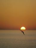 Magnificent Frigatebird (Fregata Magnificens), Isabella Island, Galapagos Islands, Ecuador Photographic Print by Tui De Roy/Minden Pictures